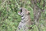 leopard_7954.jpg
