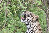 leopard_7953.jpg