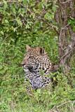 leopard_7932.jpg