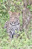 leopard_7926.jpg