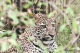 Leopard_7917.jpg