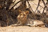 Lion sub-adult male