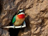 Whitefronted bee-eater 1