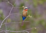 Whitefronted bee-eater 5