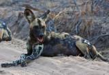 Wild dog 5
