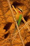 Whitefronted bee-eater 4
