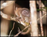 Brown mouse lemur_0167