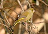 Greenfinch 8685