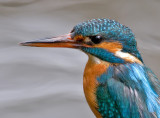 Portrait of a female common Kingfisher