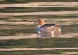 eagle river duck-0514 800.jpg