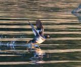 eagle river duck-0517 800.jpg