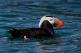 tufted puffin-0715 800.jpg
