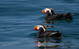 tufted puffin-0719 800.jpg