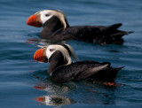 tufted puffin-0721 800.jpg