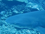 Lemon Shark2