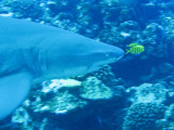 Grey reef shark1