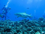 Grey reef shark2