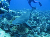 Lemon Shark4