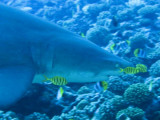 Grey reef shark3