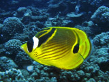 Racoon-butterflyfish