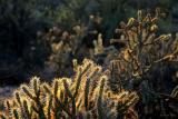 Antelope Cactus