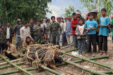 The Mithun will be carried to the village where it will be slaughtered for New Year´s festival.