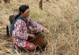 Phnong people harvest rice by collecting the grains from each single stalk without cutting the plants. Pu Lang Village II