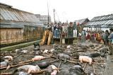Myoko. Pigs to be sacrificed. Apatani tribe