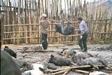Myoko. Sacrificed pigs. Apatani tribe