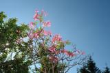 wild pink azaleas.jpg