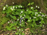 sweet white violets and purple violets.jpg