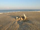 old whelk shell.jpg