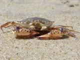 lady crab.jpg
