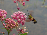 swamp milkweed with hummingbird moth.jpg