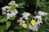 wild clematis and evening primrose.jpg