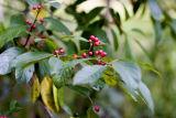 Indian Cherry