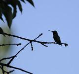 Early Morning Hummingbird