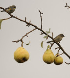 Soggy Yellow Rumped Warblers
