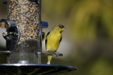 A visiting GoldFinch