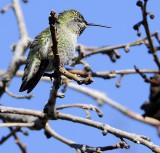 Snoozing Hummingbird