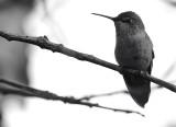 A Hummingbird portrait