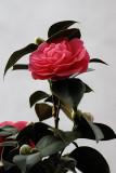Top Camellia
