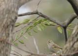 Rainy Day Sparrow