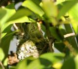 A nesting Hummingbird