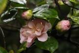 Soggy Camellias