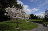 Cherry Trees at Memorial Park