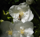 Bee visiting the Philadelphius
