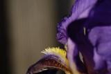 The Bearded Iris