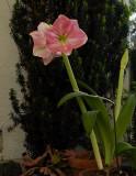 Another flowering Amaryllis