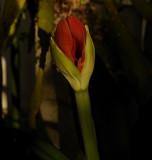 Future Red Amaryllis